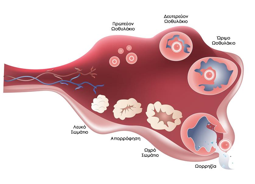 Διαδικασία ωορρηξίας